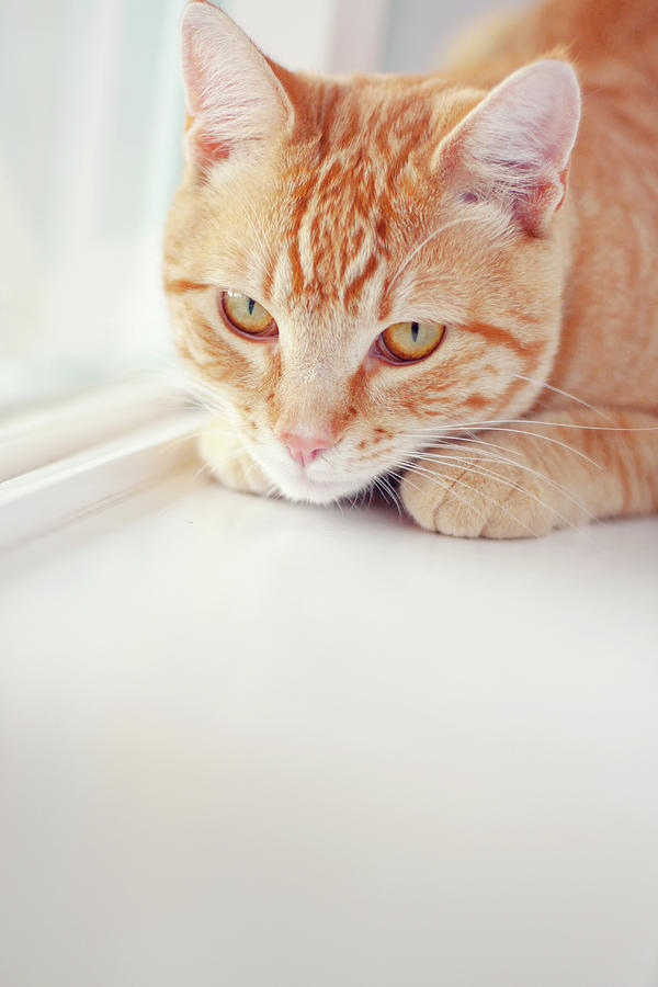 Vertical Photograph - Orange Tabby Cat On White Window Sill by Kellie Parry Photography