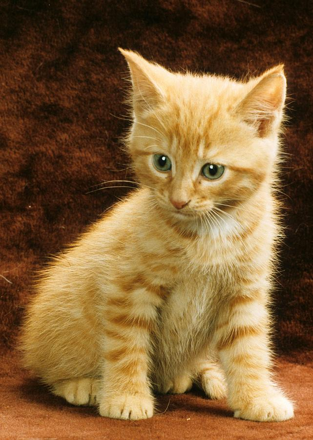 orange-tabby-mixed-breed-kitten-larry-al
