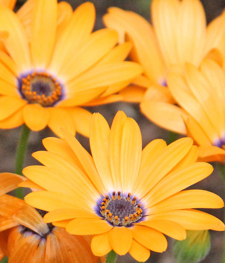 Becky Photograph - Orange With Purple Center by Becky Lodes