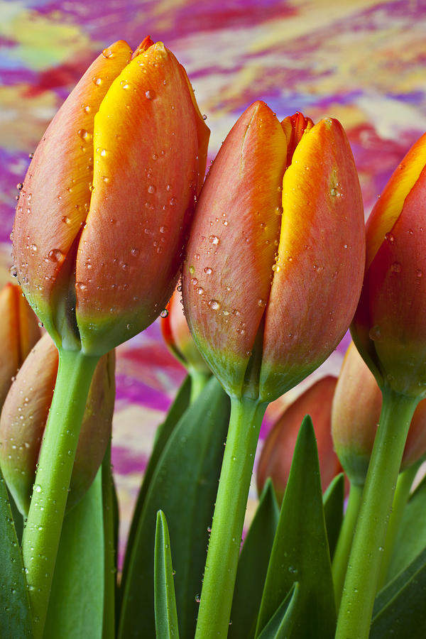Tulips Photograph - Orange Yellow Tulips by Garry Gay