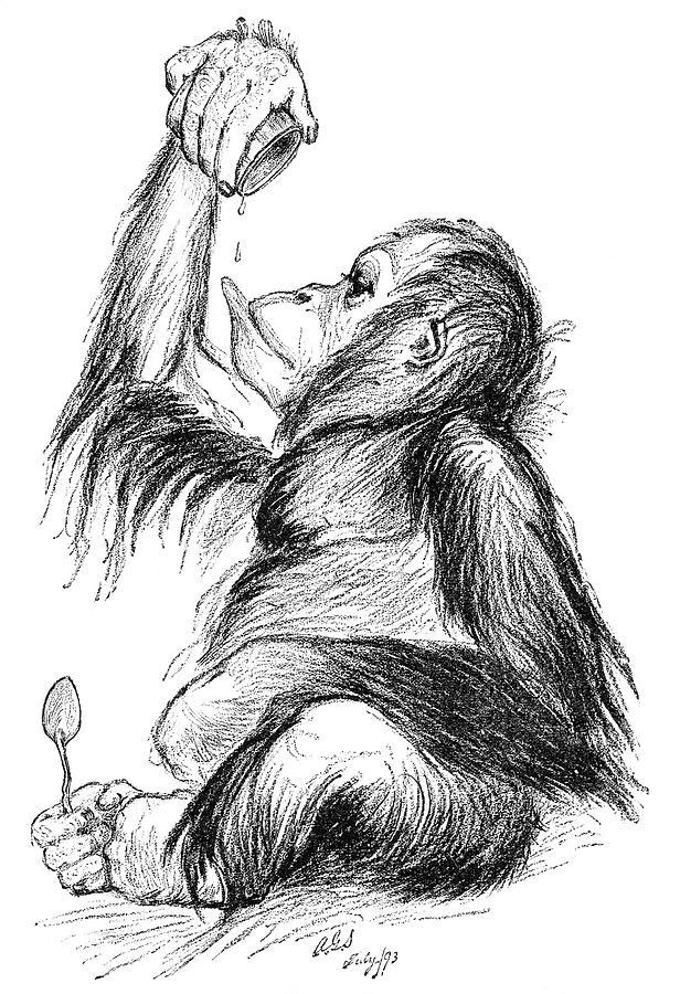 Orangutan Photograph - Orangutan, 19th Century by