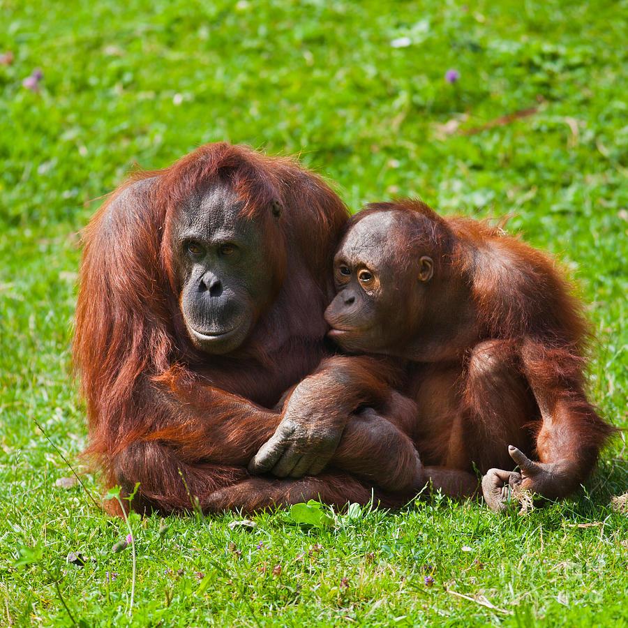 Pongo Photograph - Orangutan Mother And Child by Gabriela Insuratelu