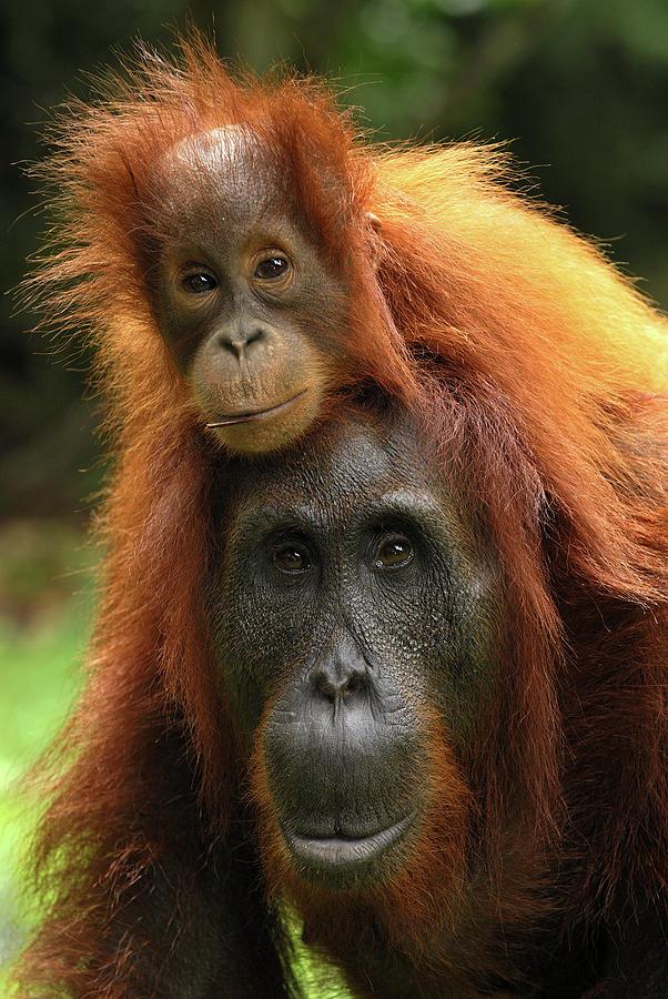 Orangutan Pongo Pygmaeus Female Photograph by Thomas Marent