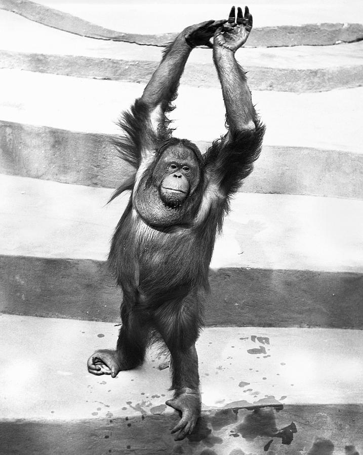 Vertical Photograph - Orangutan W/arms Up by George Marks
