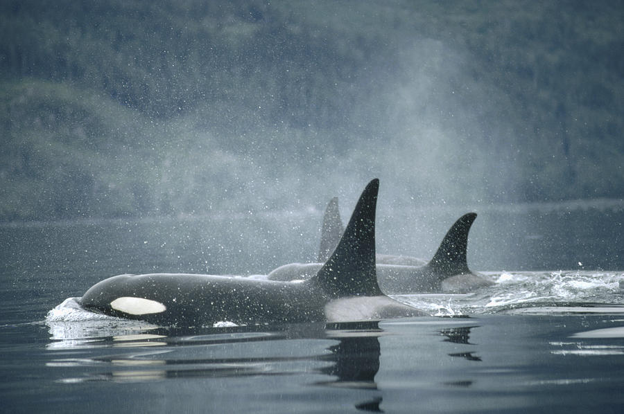 Orca Orcinus Orca Group Surfacing Photograph By Flip Nicklin