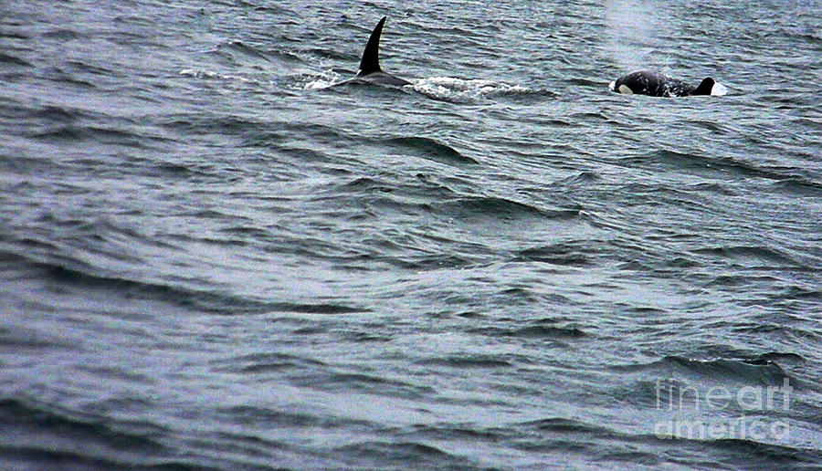 Orca Photograph - Orca Whales by Derek Swift