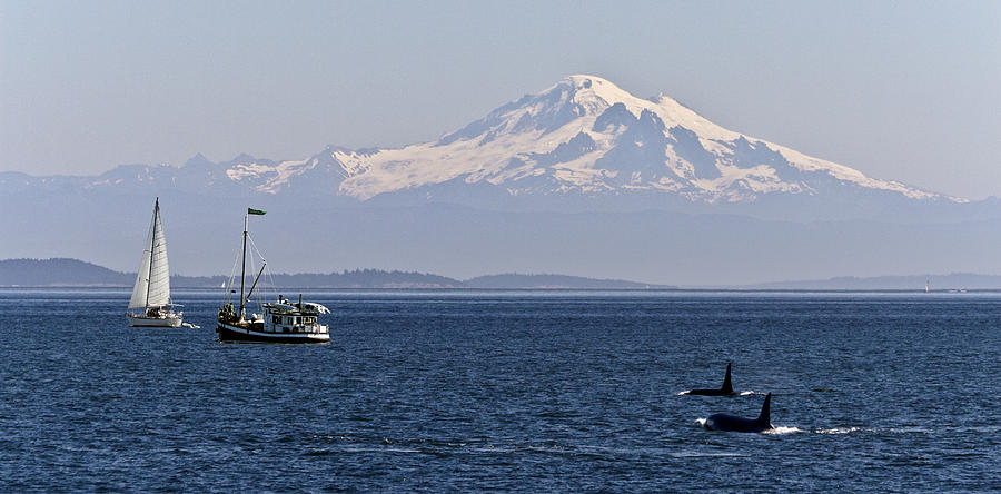 Orca's And Mt Baker by Tony Locke