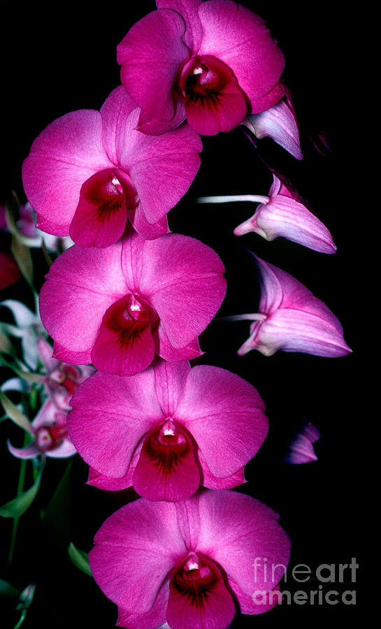 Orchid 8 Photograph