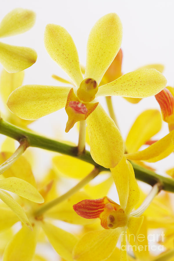 Spa-treatment Photograph - Orchid by Atiketta Sangasaeng