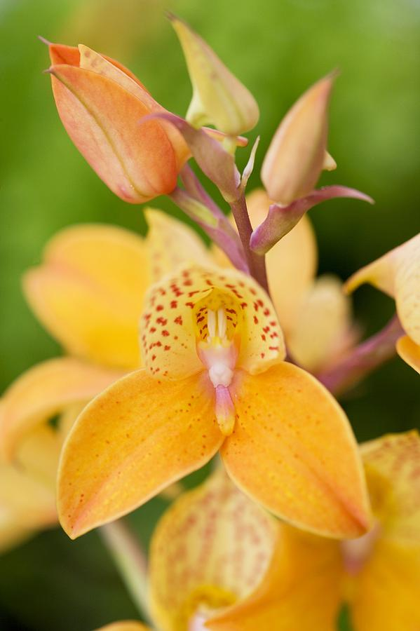 Flower Photograph - Orchid Disa Kewensis by Jon Stokes