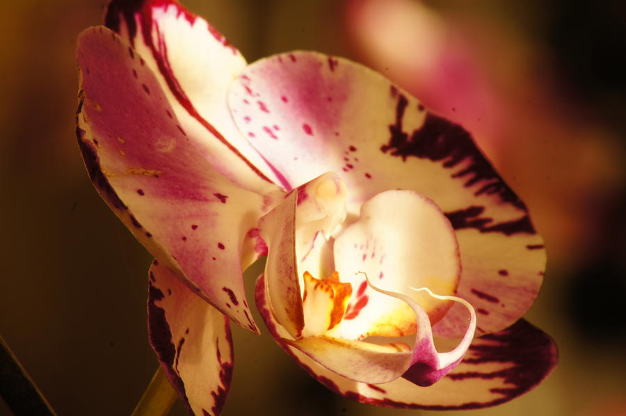 Orchid Photograph - Orchid Fangs by Bj Hodges