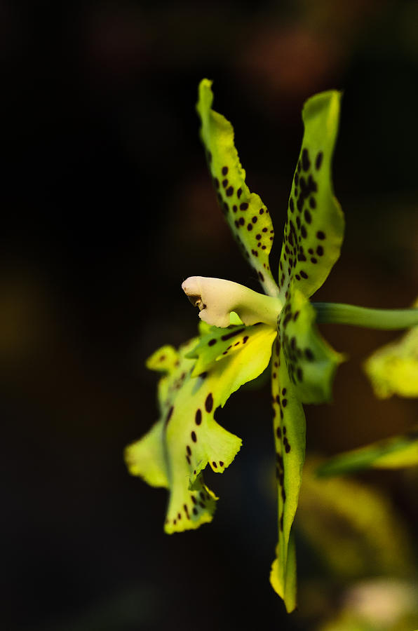Bouquet Photograph - Orchid flower by Michael Goyberg