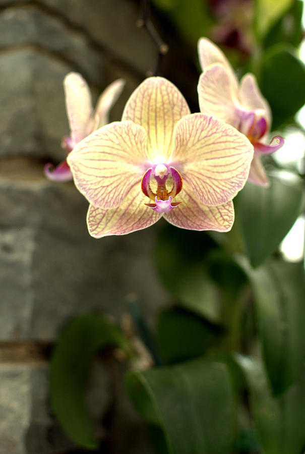 Orchid Photograph - Orchid by Floyd Menezes