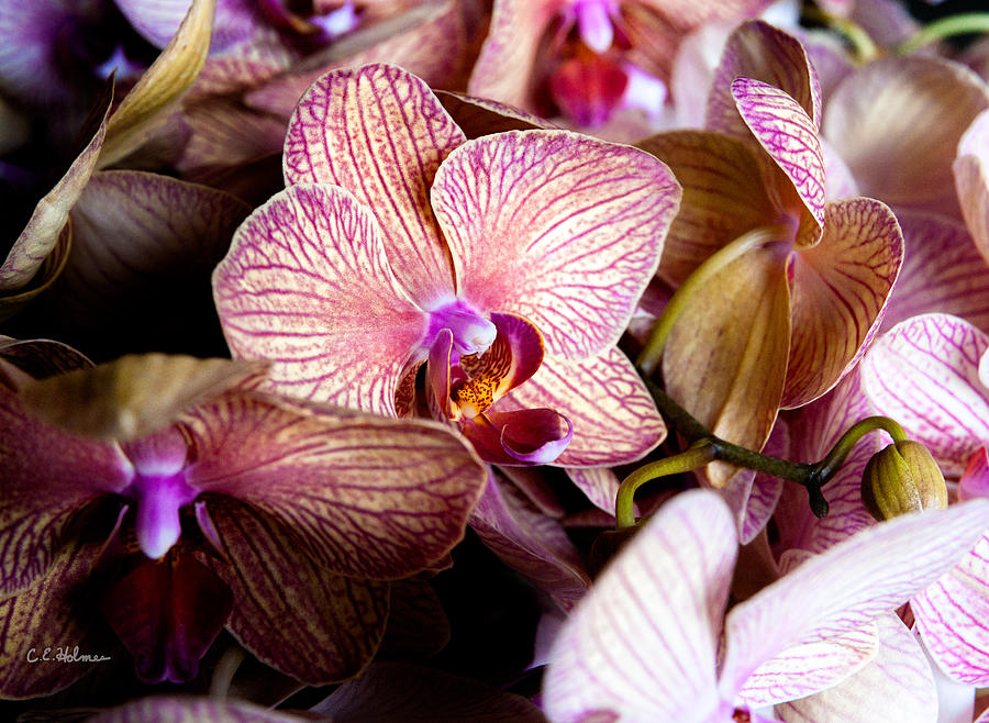 Orchid Photograph - Orchid IIi by Christopher Holmes