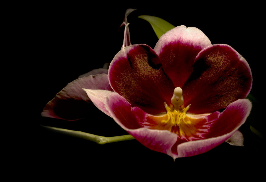Orchid Photograph - Orchid by Jacqui Collett