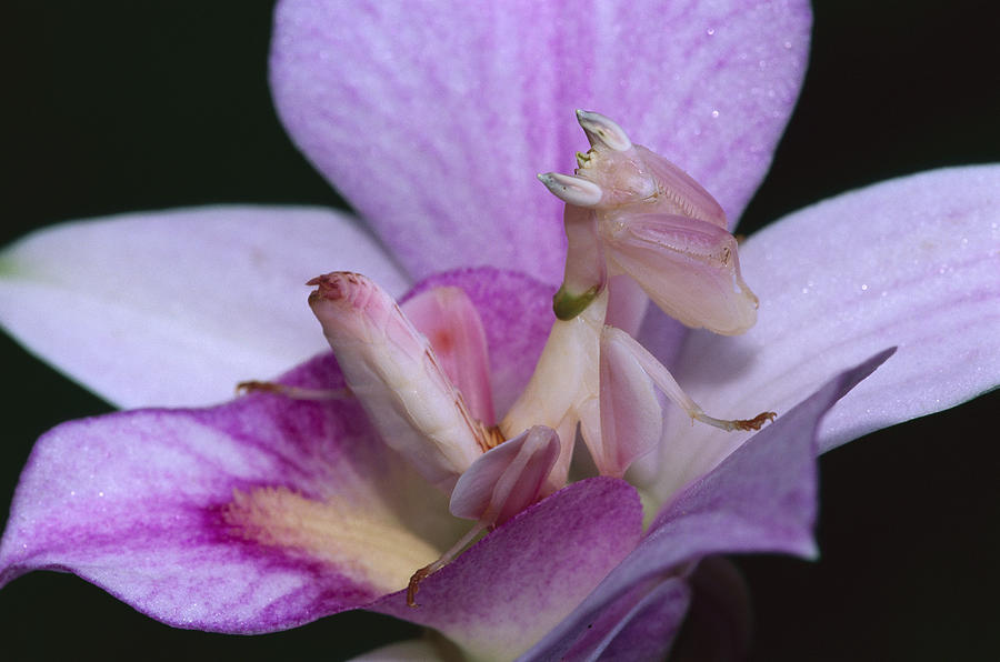 Orchid Mantis in the Pink Photograph by Thomas Marent