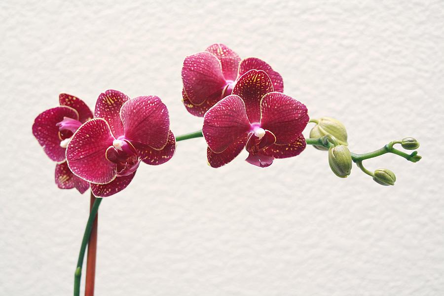 Flower Photograph - Orchid by Masha Batkova