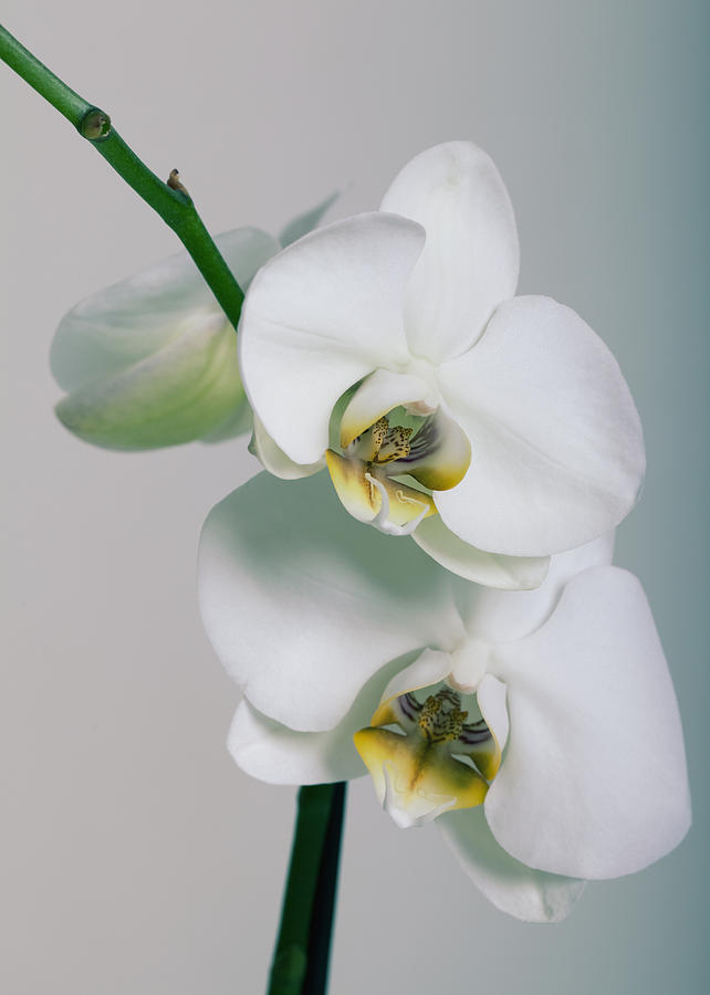 Orchid Photograph - Orchidee by Falko Follert