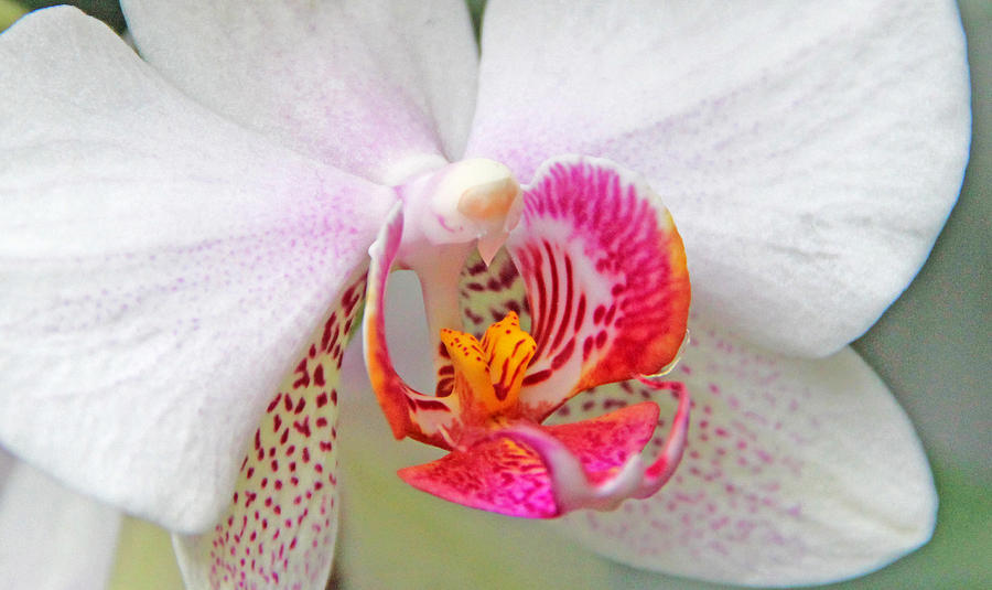 Becky Photograph - Orchids 10 by Becky Lodes