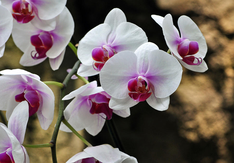 Orchids Photograph - Orchids For Your Day by Timothy Johnson