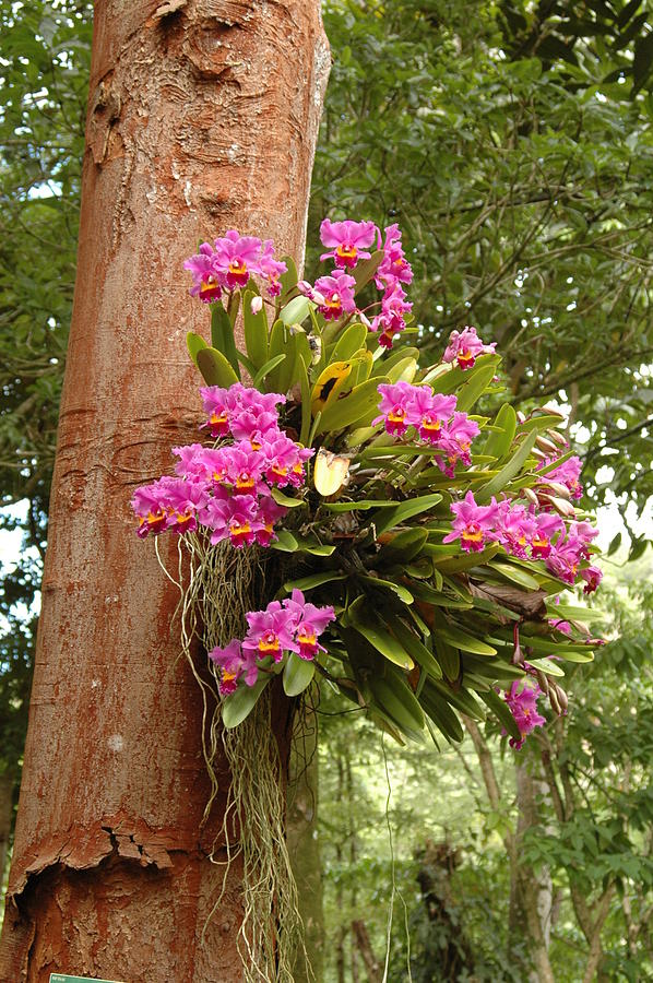 orchids on tree photograph by kathy schumann