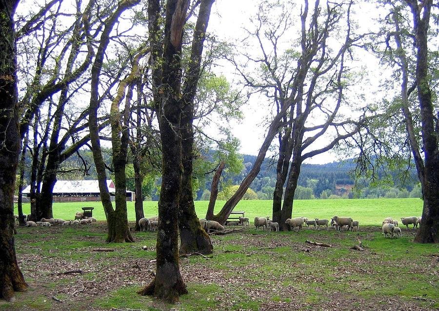 Oregon Photograph - Oregon Sheep Farm by Will Borden