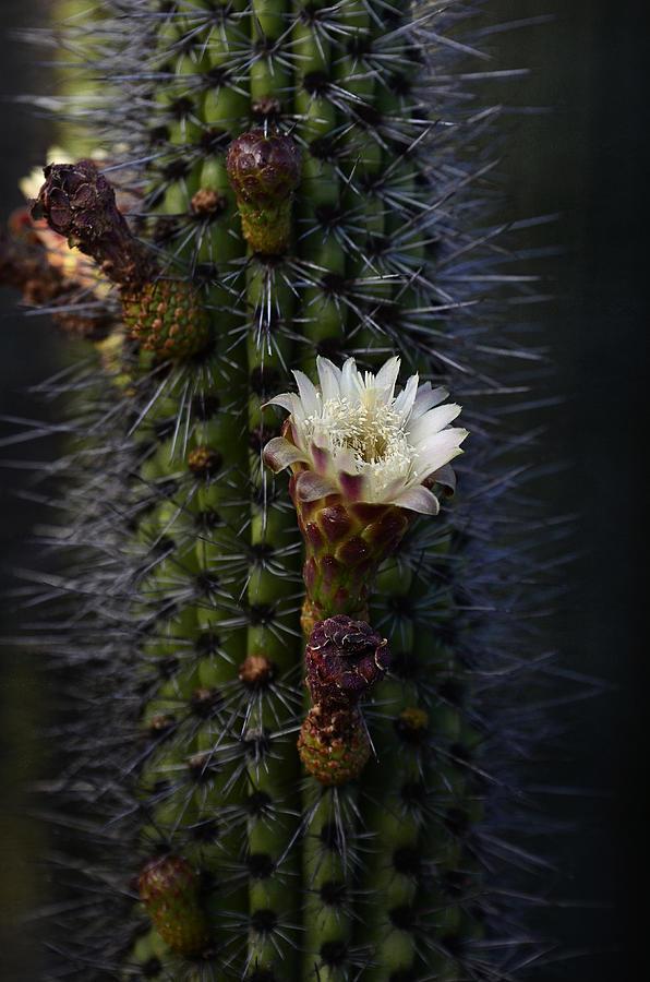 Organ Pipe Cactus Photograph - Organ Pipe Cactus  by Saija  Lehtonen