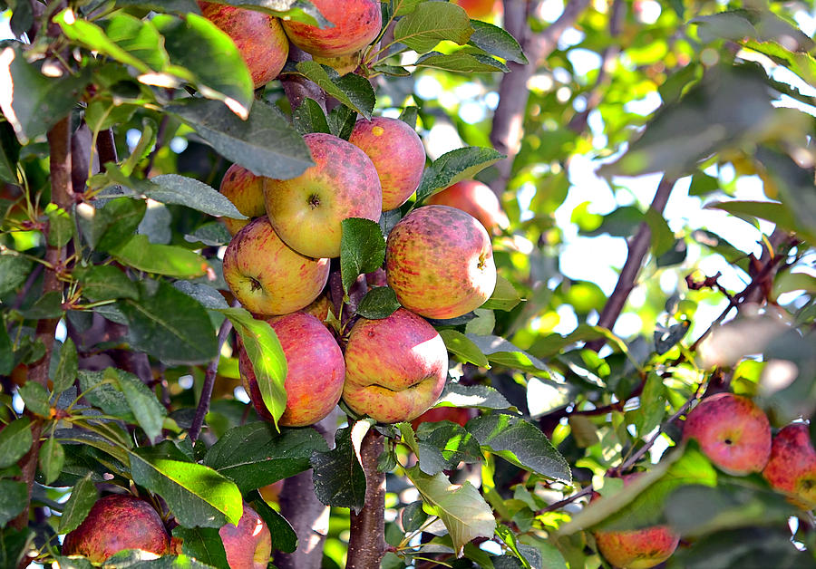 Agricultural Photograph - Organic Apples In A Tree by Susan Leggett