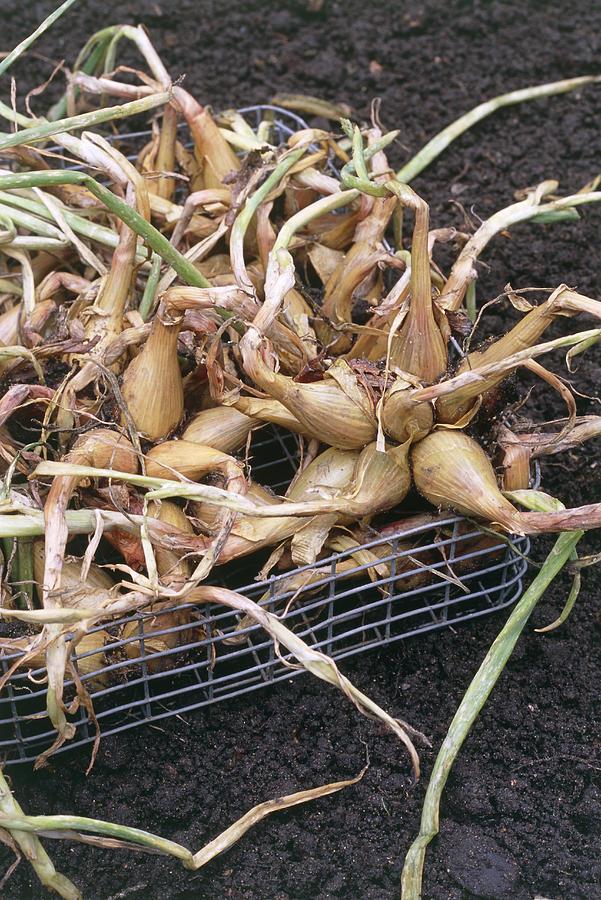 Allium Cepa Photograph - Organic Onions by Maxine Adcock