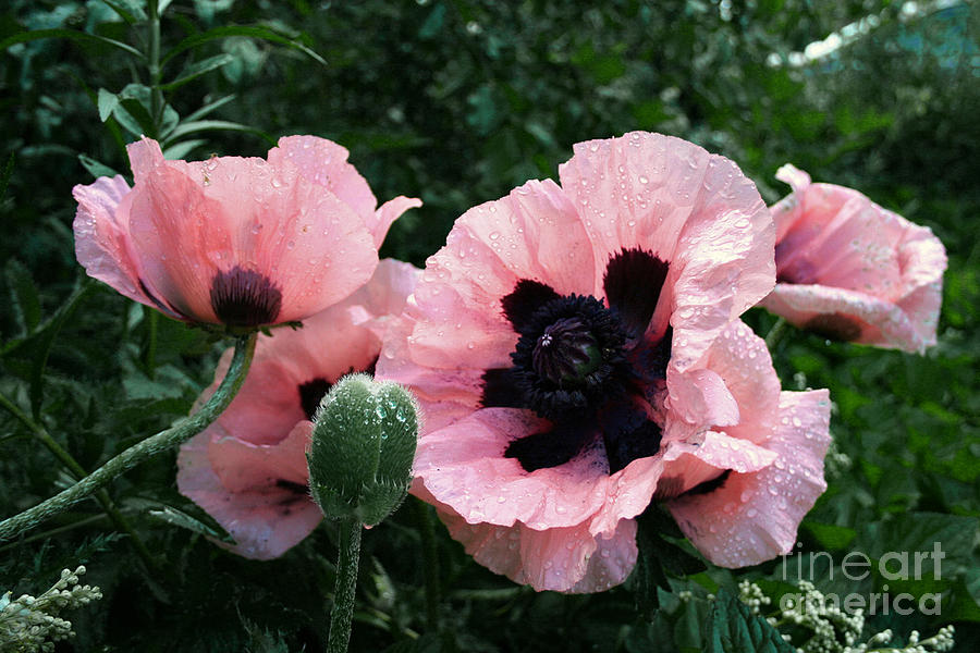 Flowers Photograph - Oriental Poppies by Barbara McMahon