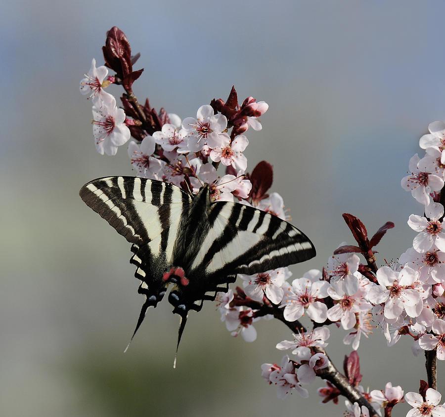 Zebra Swallowtail Photograph - Ornamental Plum Blossoms With Zebra Swallowtail by Lara Ellis