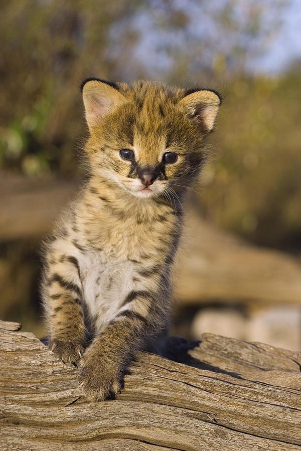 Orphan Serval Kitten Leptailurus Serval Photograph By Suzi