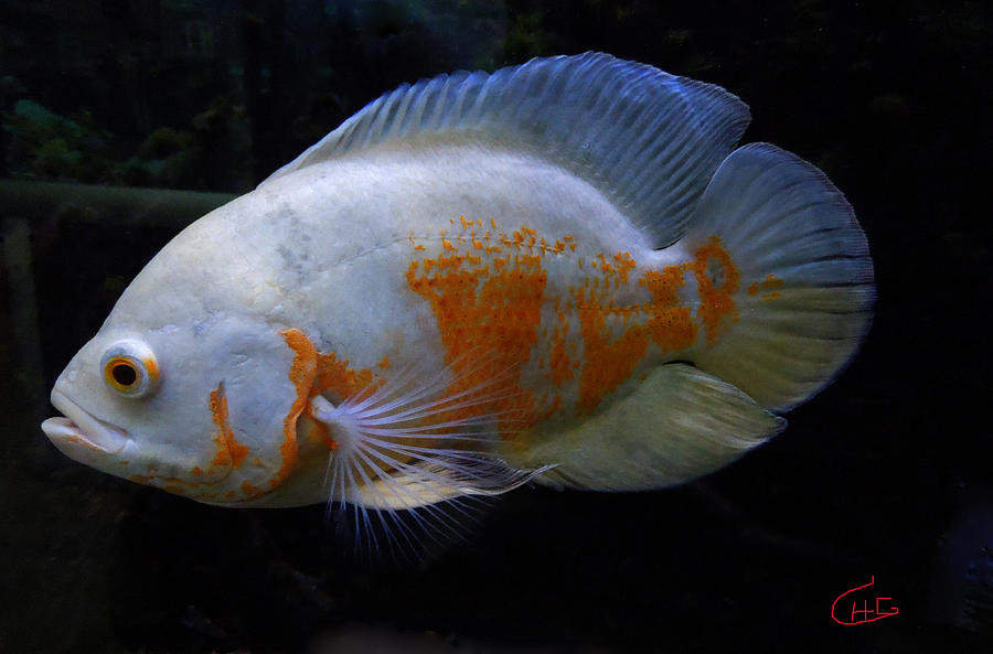 James Foley Islamic State n 5698695 further Top 22 Worlds Beautiful Fish moreover Watch also How To Identify Male And Female also Oscar Fish Original From Asien Colette V Hera Guggenheim. on oscar hole in head disease