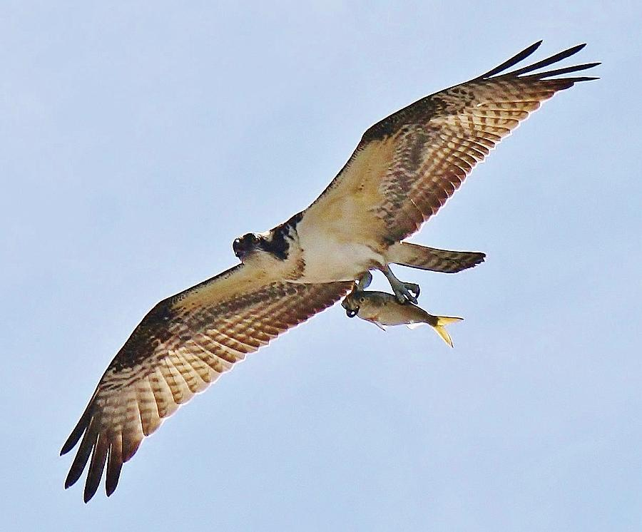 Osprey Photograph - Osprey Carrying His Lunch by Paulette Thomas