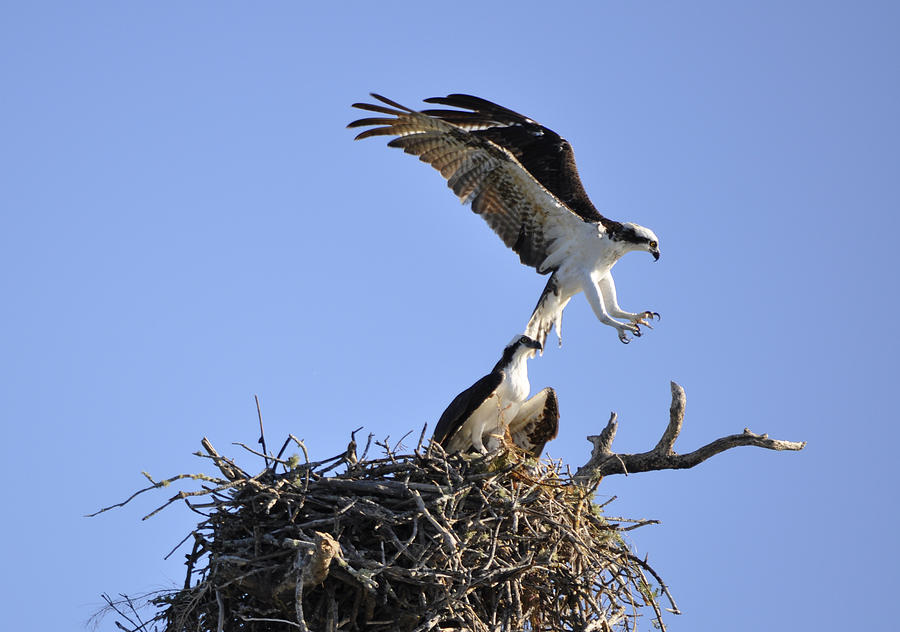 Osprey Photograph - Osprey Coming in for a Landing by Christine Stonebridge