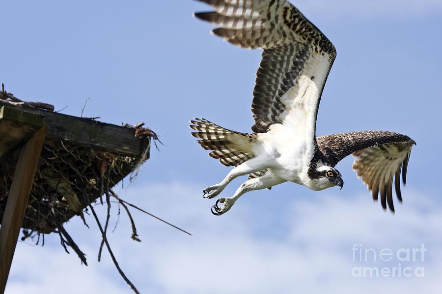 Osprey Photograph - Osprey Flying From Nest by John Van Decker