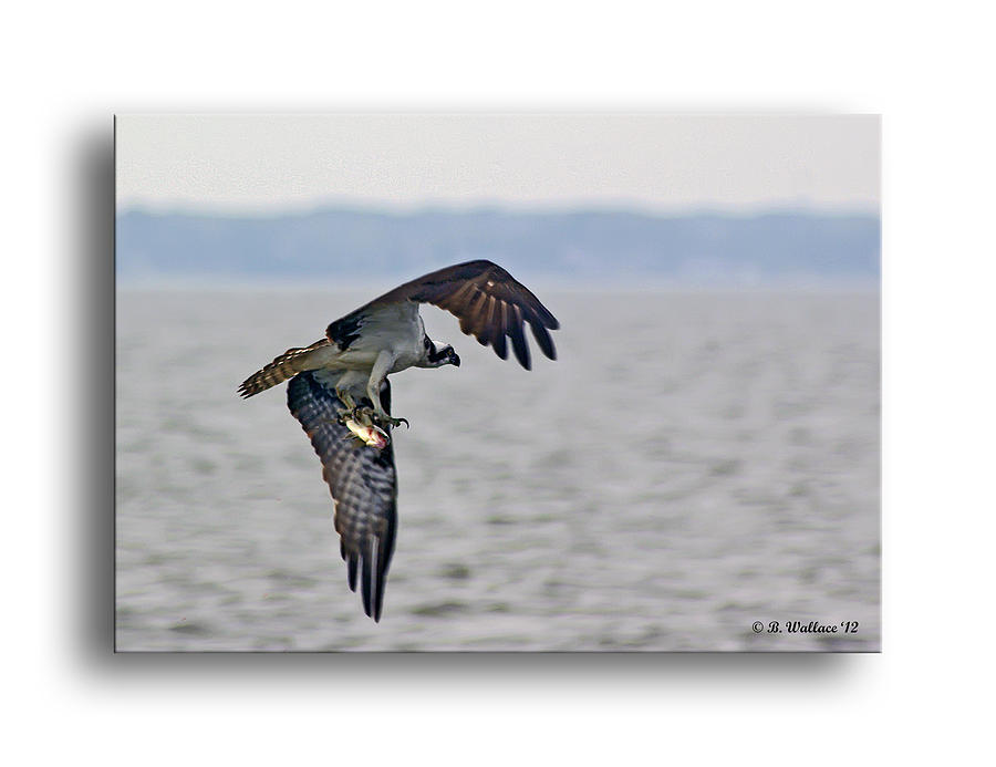 2d Photograph - Osprey Grab by Brian Wallace