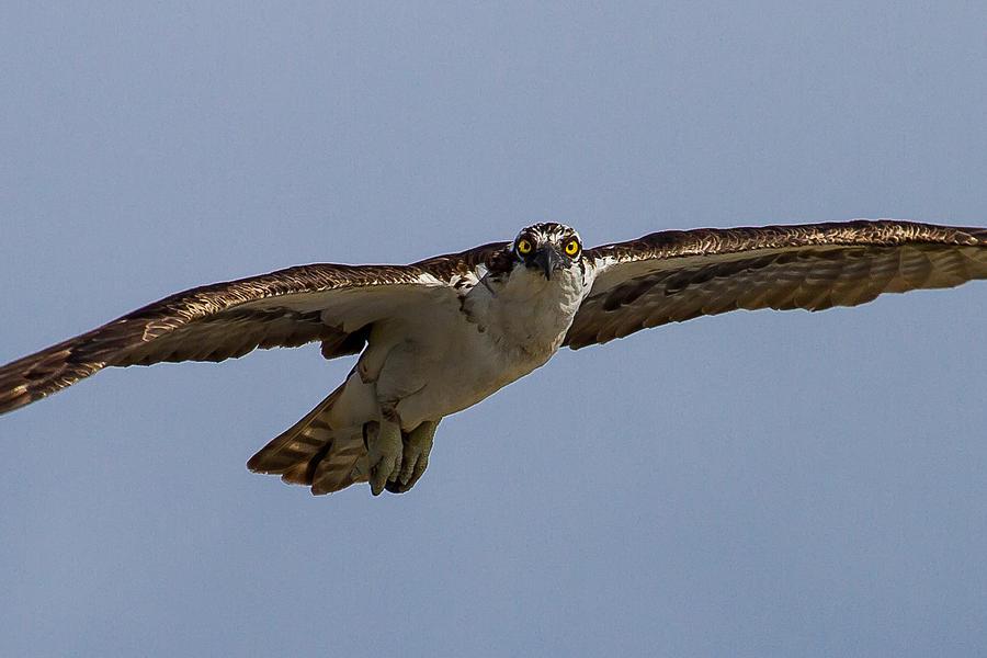 Osprey Photograph - Osprey In Flight by Bill Lindsay