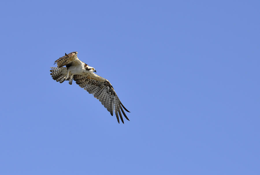 Osprey Photograph - Osprey in Flight by Christine Stonebridge