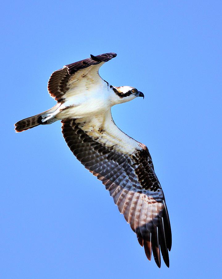 Osprey Photograph - Osprey Inflight by Bill Dodsworth