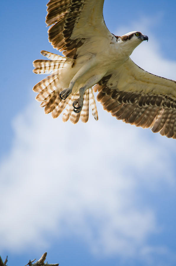 Osprey Photograph - Osprey by Mike Rivera