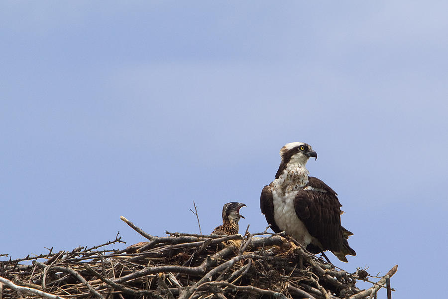 Osprey Photograph - Osprey Mother And Chick by Stephanie McDowell