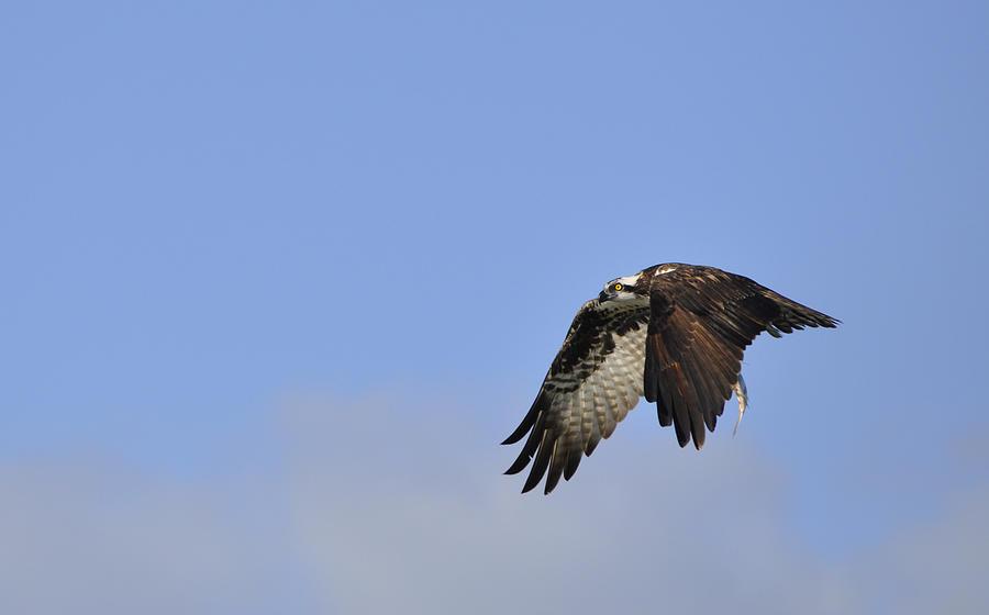 Osprey Photograph - Osprey On The Move by Christine Stonebridge