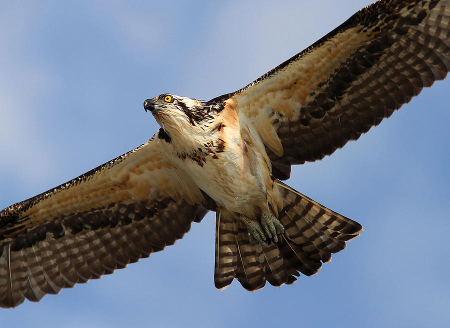 Osprey Photograph by Phil Lanoue