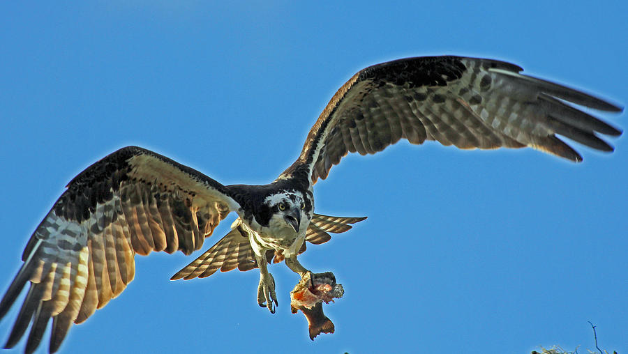 Bird Photograph - Osprey Special Delivery by Larry Nieland