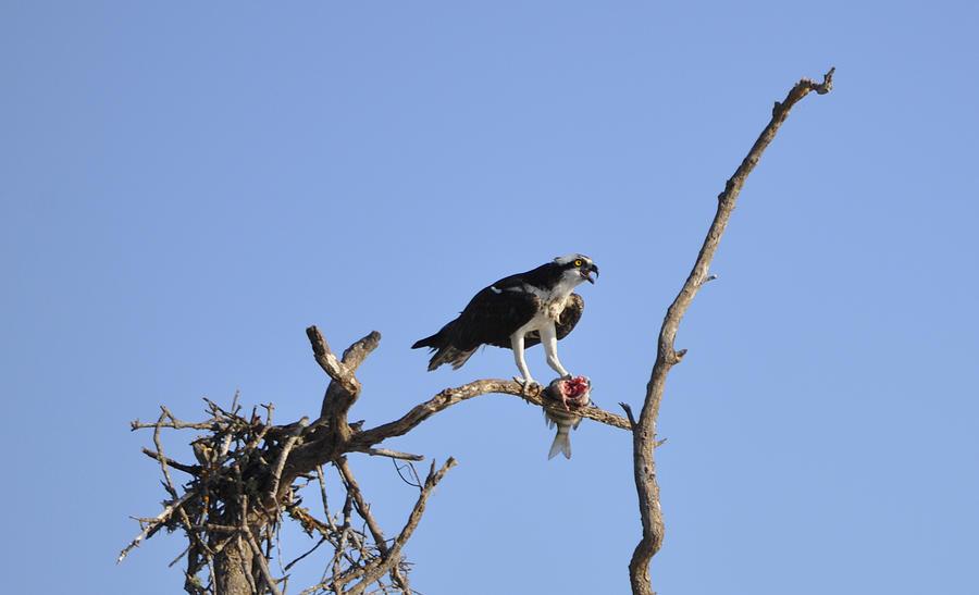 Osprey Photograph - Osprey with Catch I by Christine Stonebridge