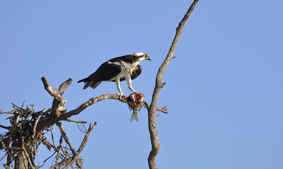 Osprey Photograph - Osprey With Catch II by Christine Stonebridge