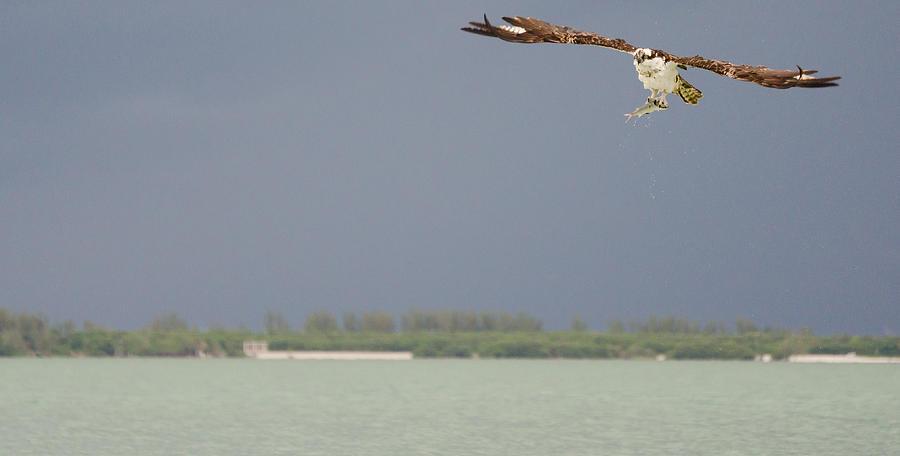 Osprey Photograph - Osprey With Catch by Mike Rivera