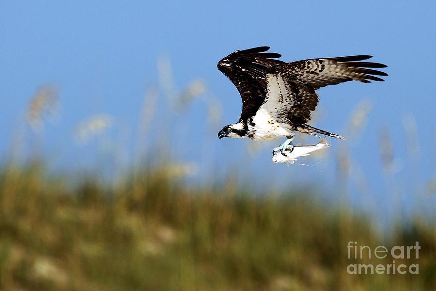 Bird Photograph - Osprey With Fish by Rick Mann