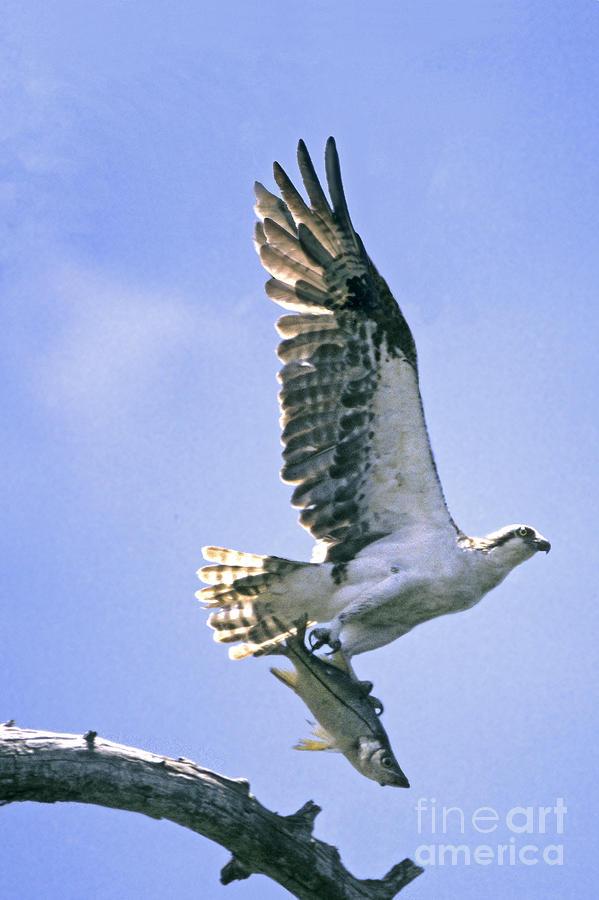 Osprey Photograph - Osprey With Snook by Richard Nickson